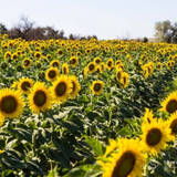 Послуги з посіву соняшника недорого