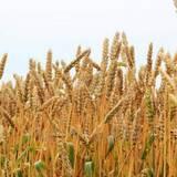 Купити пшеницю на корм худобі з доставкою по Україні!