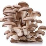 Купити міцелій грибів глива