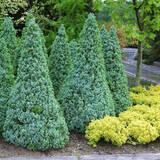 Ялина канадська: вічнозелена красуня чекає на Вас!