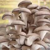 Купить грибной блок вешенки