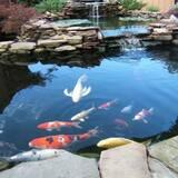 Пруд, карпы кои оптом, рыбки для пруда, водные растения, корм для кои