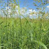 Суданська трава від компанії Агро Світ