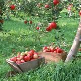 Элитные саженцы: купить саженцы яблонь Адаред, Белый Налив, Слава Победителям