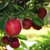 Вирощуємо та продаємо яблука оптом - великий асортимент сортів!