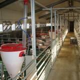 Продаж свиней живою вагою - ціна краща в регіоні!