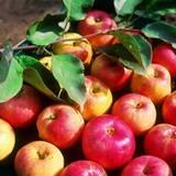 Найкращі цьогорічні сорти яблук: купуйте оптом тут!