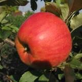 Яблука Джонаголд. Кращий зимовий сорт!