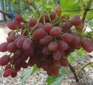 """Саженец винограда """"Велес"""""""