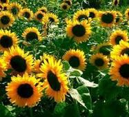 Насіння соняшника Ясон