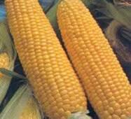 Насіння Кукурудза Брусниця