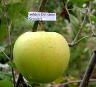 Яблука Крістін Мутсу