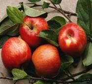 Саженцы яблони - Зимнее Плесецкого