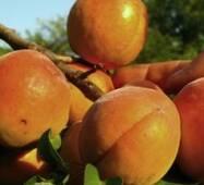 Саженцы абрикоса Киевский Красавец