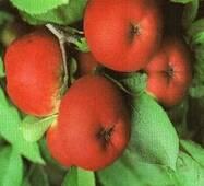 Саженцы яблони - Амулет
