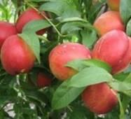 Саженцы персика - Нектарин рубиновый 8