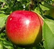 Саженцы яблони Квинти
