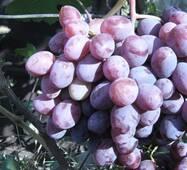 """Саженец винограду """"Фавор"""""""