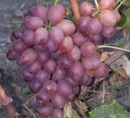 """Саженец винограду """"Ливия"""""""