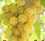 "Саженец винограду ""Ладанный-2"""
