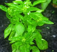 Базилик зеленый