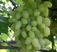 Виноград Довгожданний