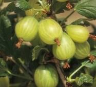 Агрус Хинномаки Зеленый