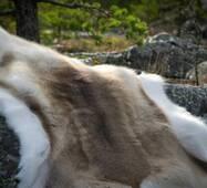 Шкура оленя (фінського)