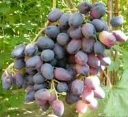 Саджанці винограду Оріон