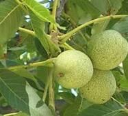 Привитые саженцы грецкого ореха Когылничану