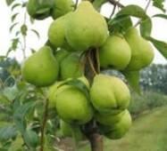 Саджанці груші Кюре (Вільямс зимовий)