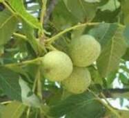 Привитые саженцы грецкого ореха Коржеуцкий