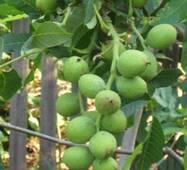 Привитые саженцы грецкого ореха Калашарский