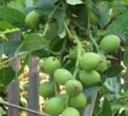 Привитые саженцы грецкого ореха Скиноский