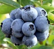 Саджанці лохини Дюк (Duke Blueberry)  морозостійкість до -34°C