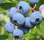 Саджанці лохини Ріка (Reka) - врожайний.