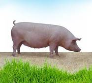 Премикс DSM для супоросных свиноматок 2%