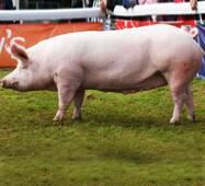 Концентрат гроуер-финишер 15-10% (для свиней весом 30-110 кг)
