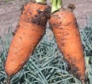 Насіння моркви Шантане