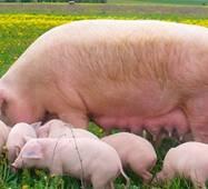 Готовий корм для свиноматок лактуючих