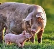 Готовий корм для свиней Фінішер, від 50 кг