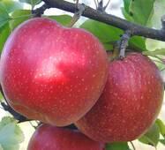 Яблоня Джонаголд (зимний сорт) (ІЯБ-48)