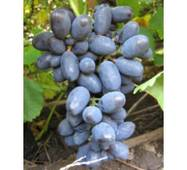 Саджанці винограду Кодрянка