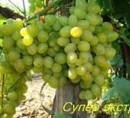 Саджанці винограду Супер Екстра