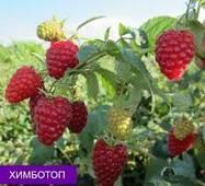 Саджанці малини Хімбо-Топ от 10 шт.