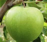 Саженцы яблони Грэнни Смит (ІЯБ-50)