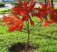 Сумах Оленерогий (оцтове дерево)