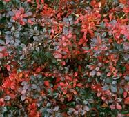 Барбарис средний Red jewel (ОКН-700) за 0,5-1,5л