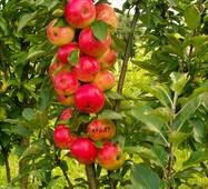 Яблоня колоновидная Арбат (осенний сорт) (ІЯБ-15)