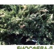 """Ялівець китайський """"Експанса Варієгата"""" (Juniperus Expansa Variegata)"""
